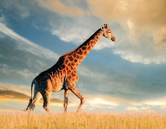 Giraffe roaming around during sunset