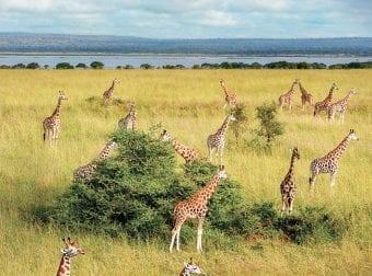 Gazing Giraffes