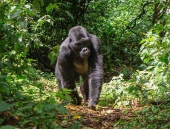 A gorilla walking through the forsest.