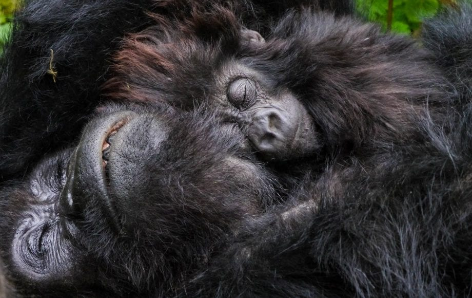 Sleeping gorilla tracking