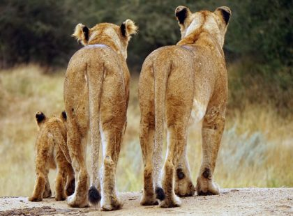 a family of lions
