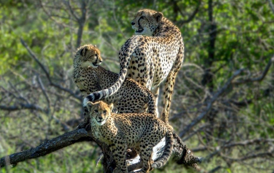 three cheetahs on a branch