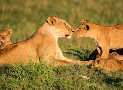 A lion and her cub touch noses