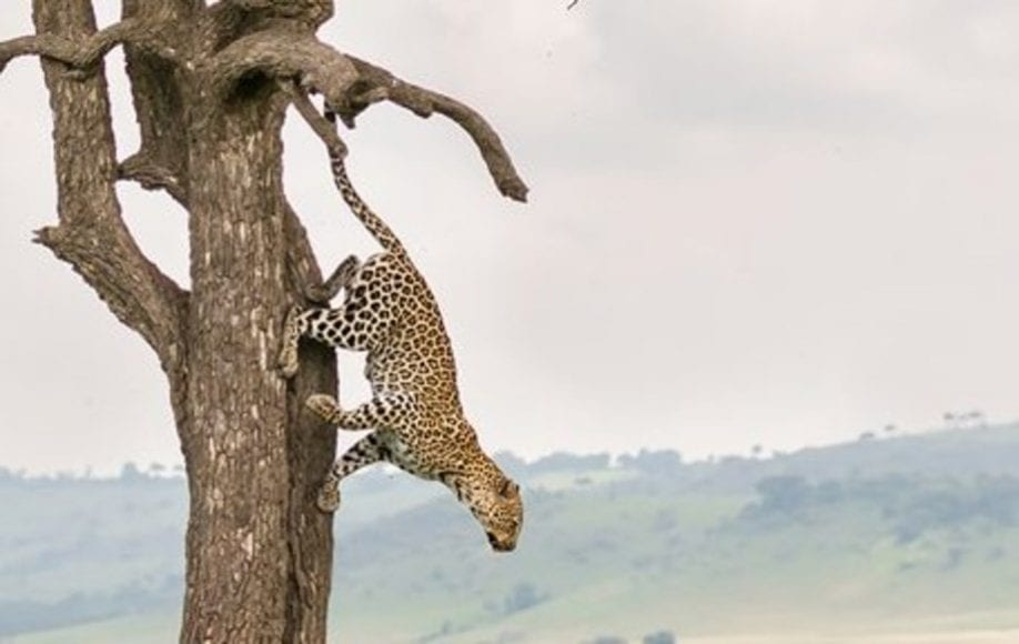 Leopard leaping down from tree