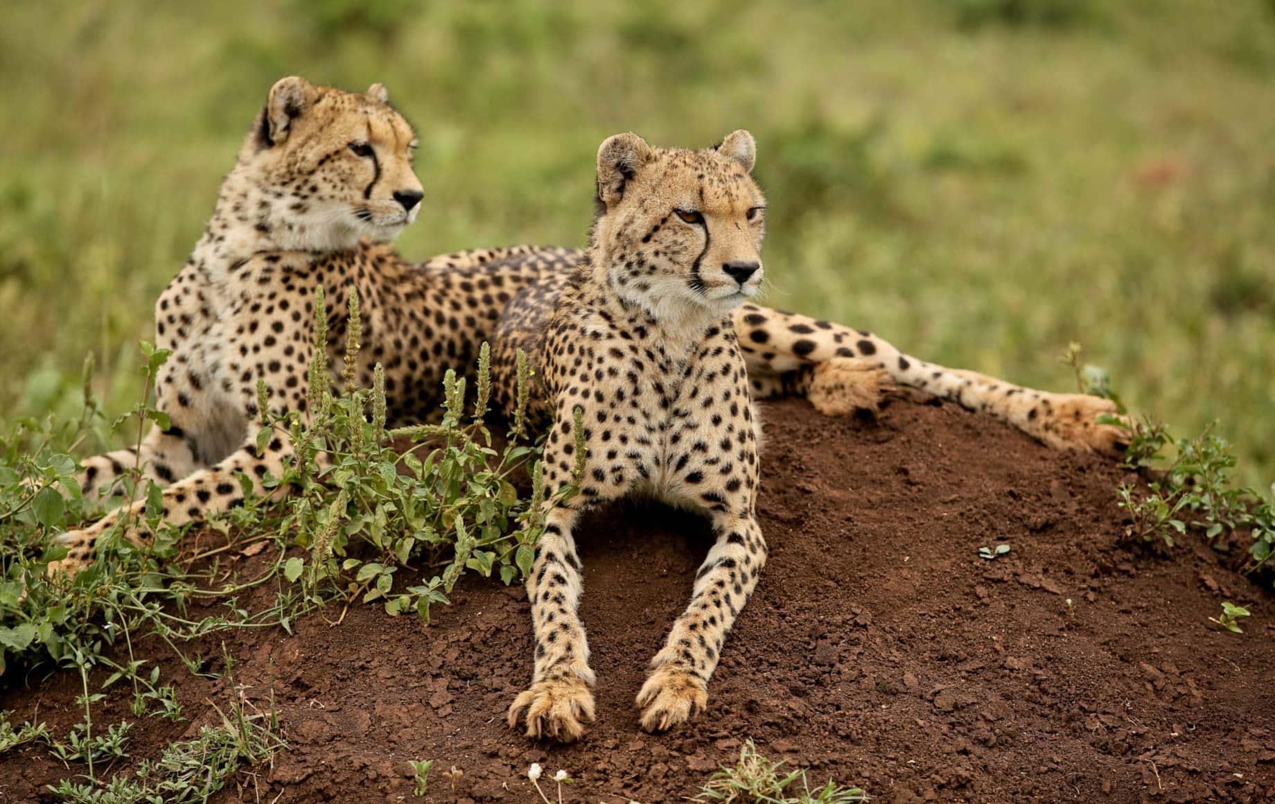 leopard cubs at KwaZulu-Natal