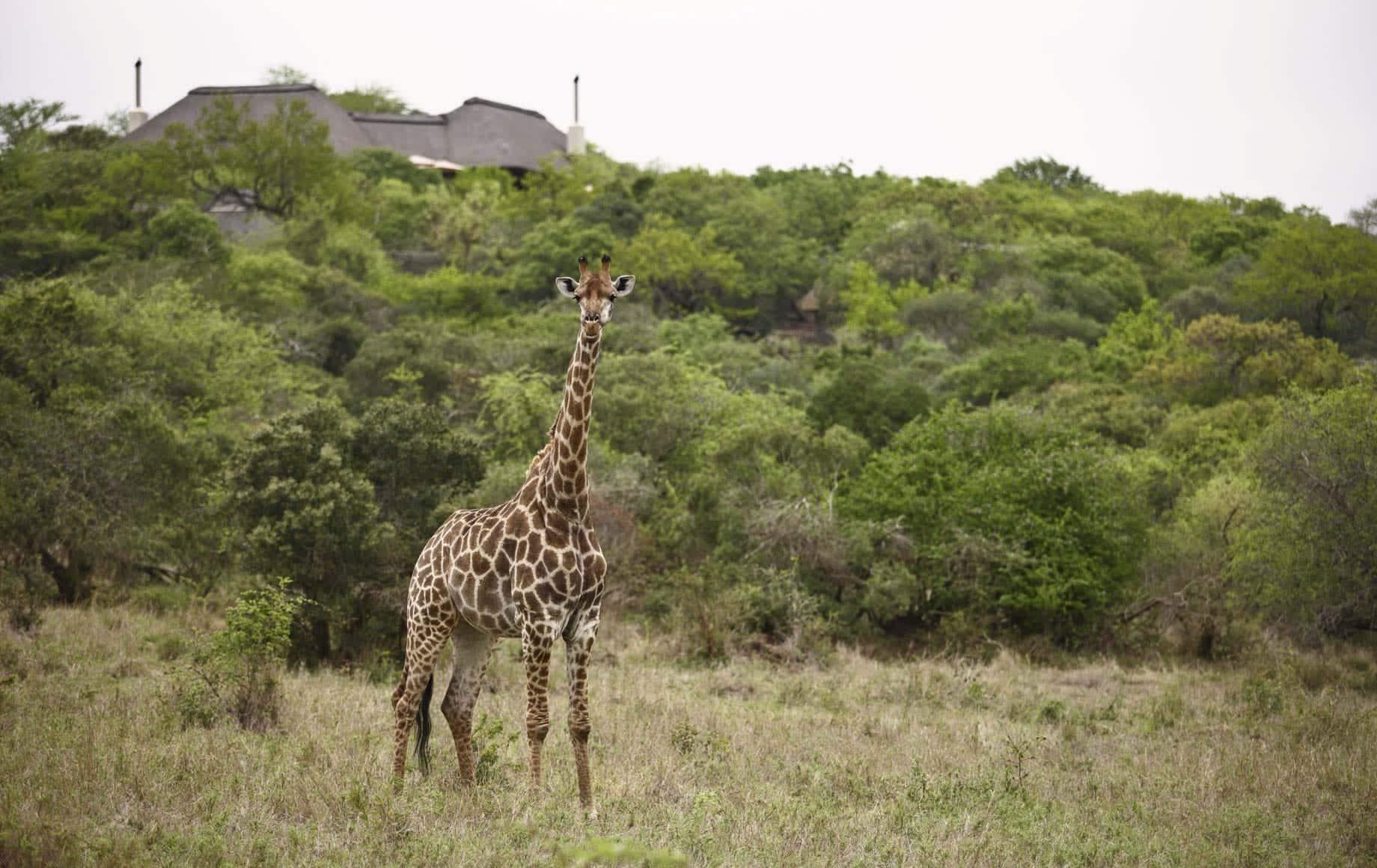 Giraffe at KwaZulu-Natal