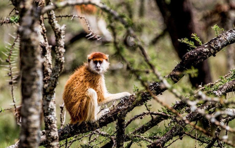 Patas monkey sitting, Laikipia Plateau, Kenya
