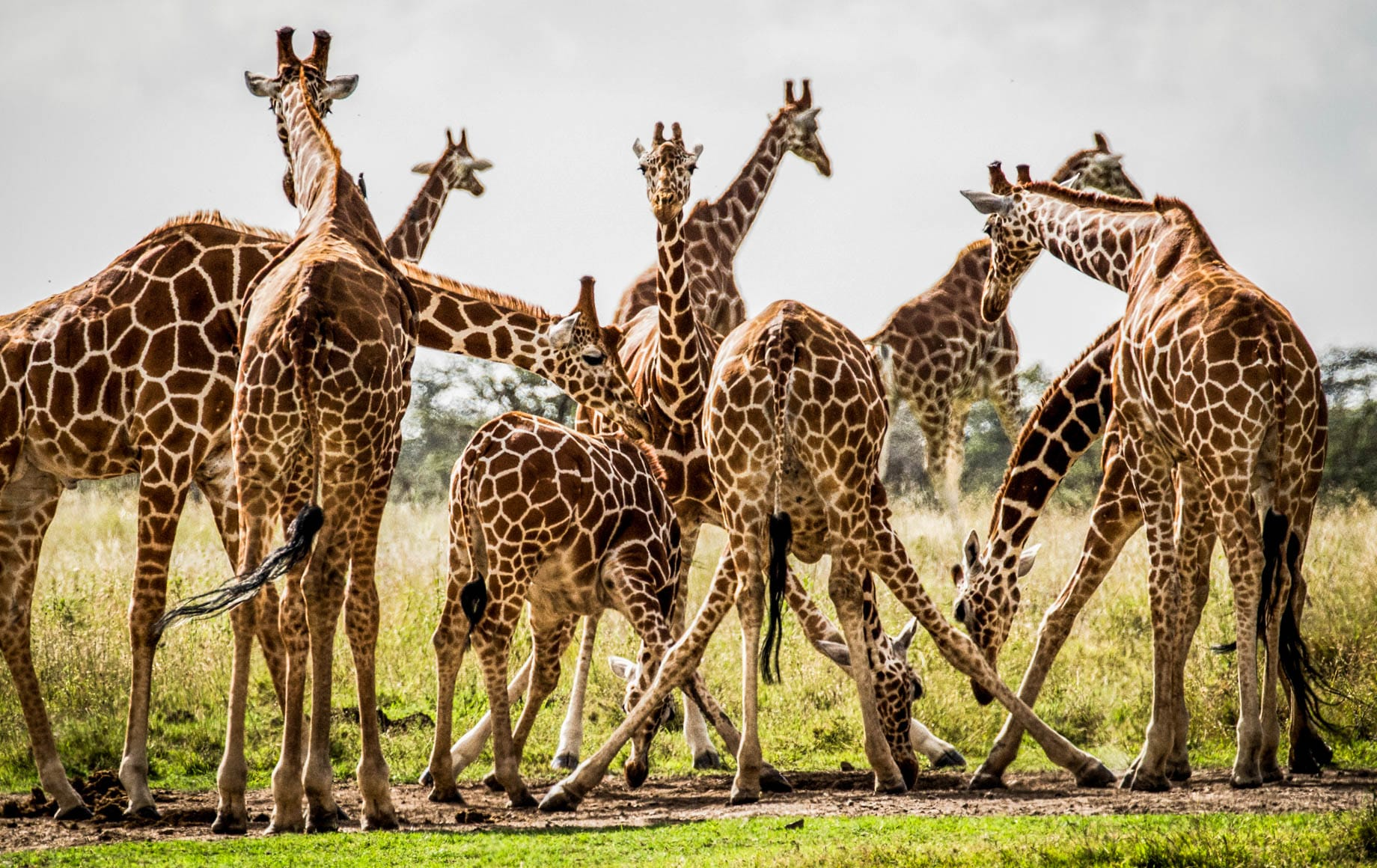 Group of Giraffes Laikipia Plateau