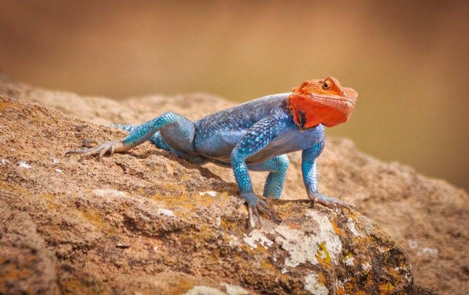 Red Headed Rock Agama Lizard Lake Nakuru National Park