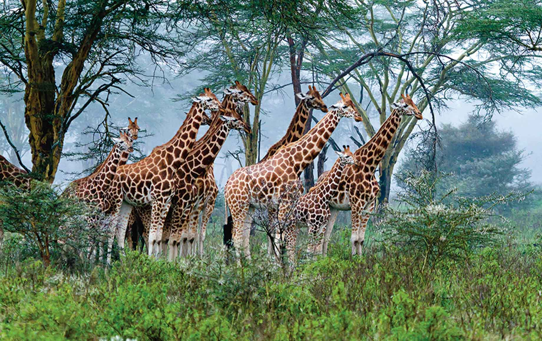 Giraffes and rhinos thrive at Lake Nakuru National Park