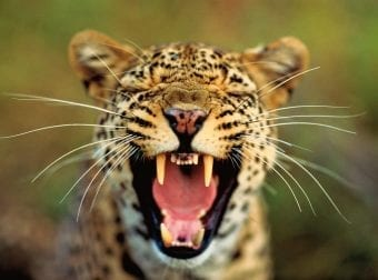 Screaming leopard