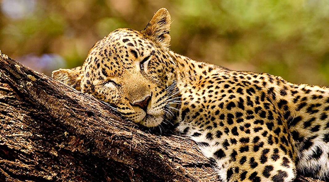 Sleeping Beauty of Leopard