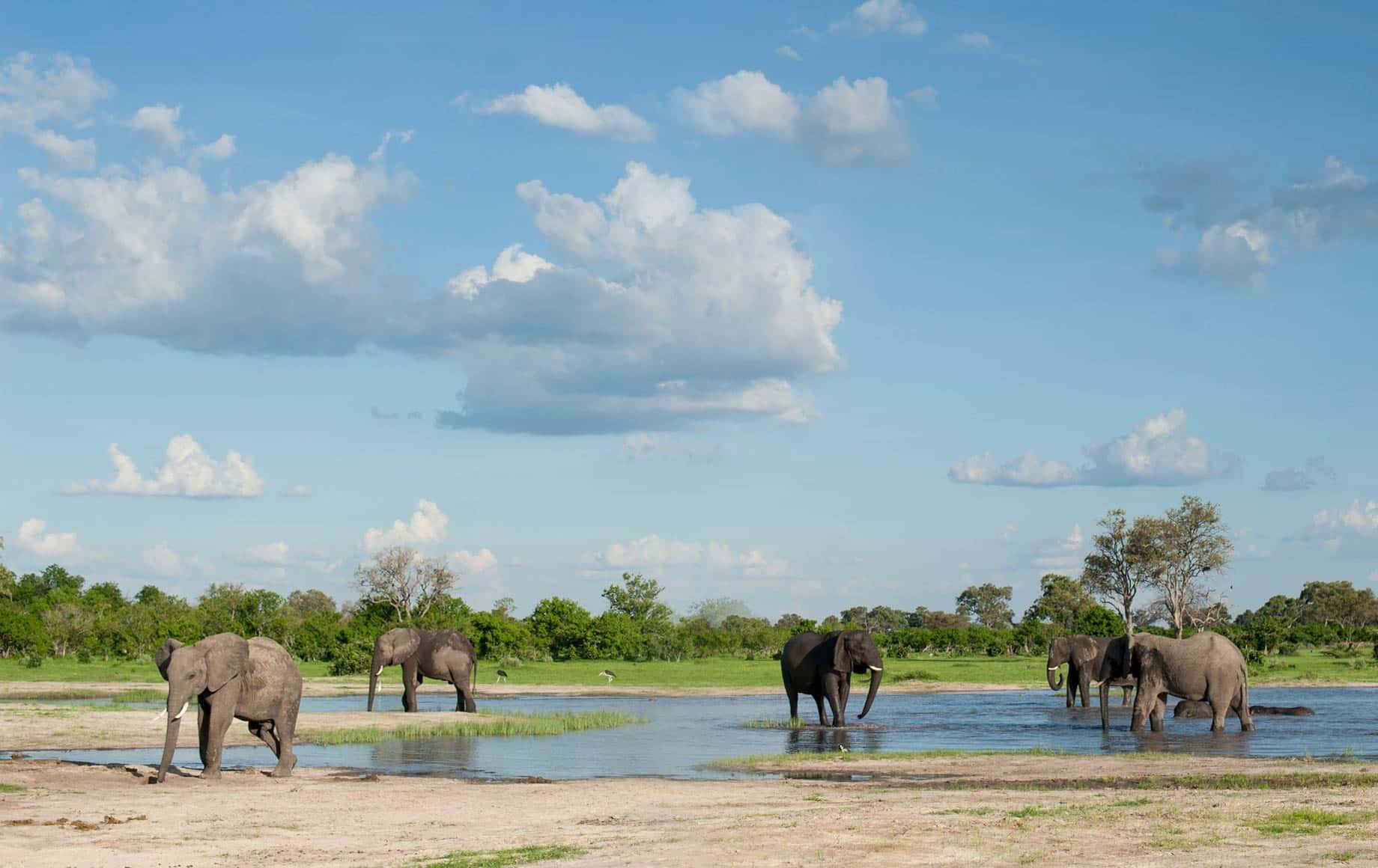 Group of Elephants roaming around at Linyanti Floodplains