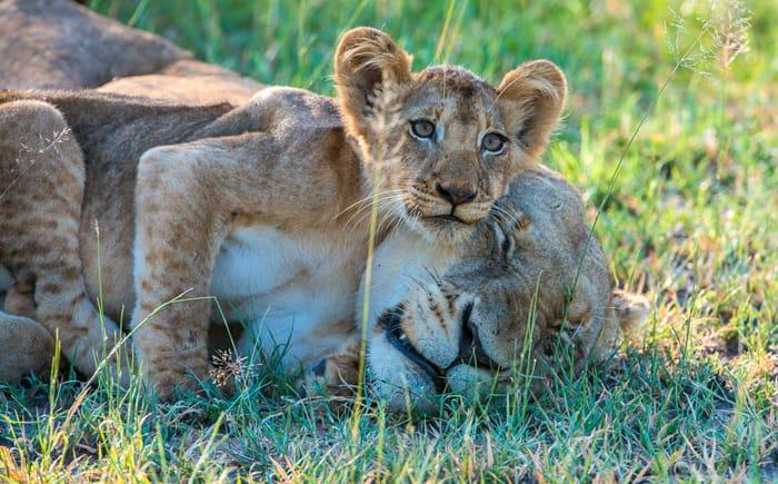 Lion cub with mother Lion