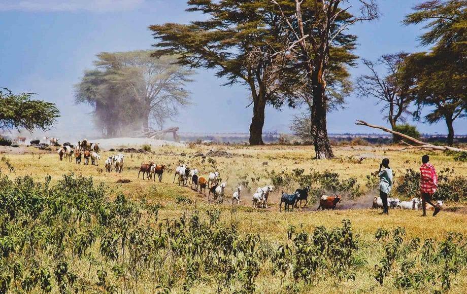 Maasai Goats
