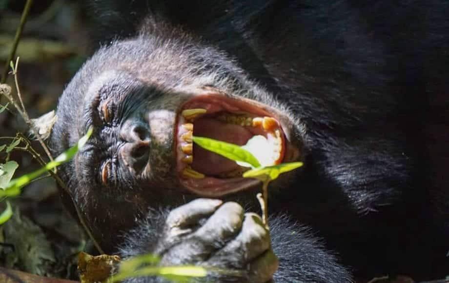 A screaming gorilla at Mahale Mountains National Park