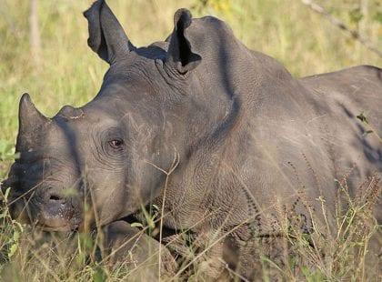 A rhinoceros sitting in a field of grass.