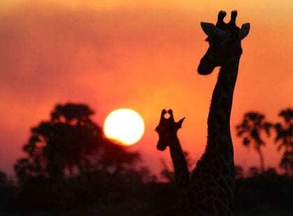 Two giraffes in shadow with the sun setting in the background.