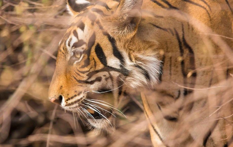 a tiger roaring