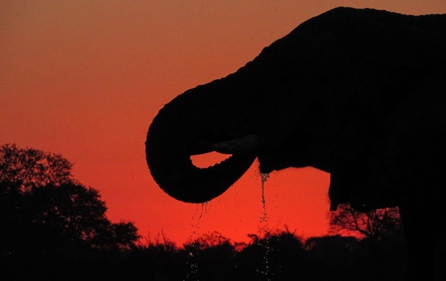 An elephant drinking water at Moremi Game Reserve