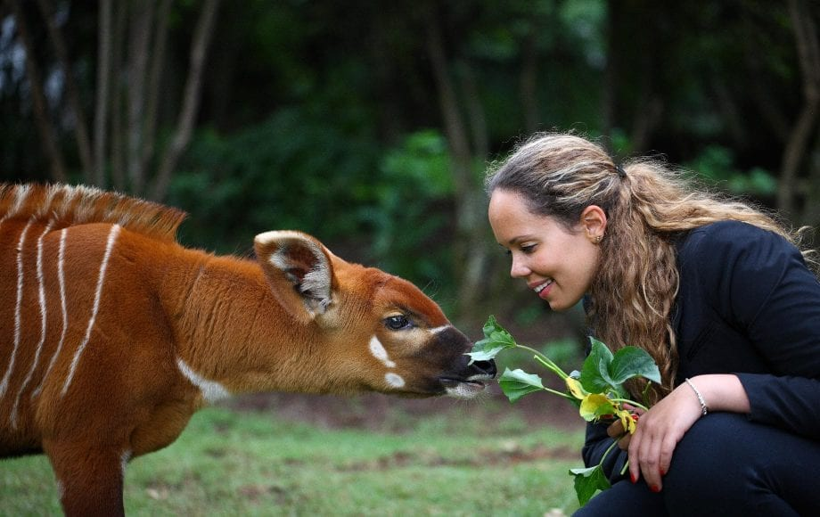 Feeding grass to bongo antelope during Safari