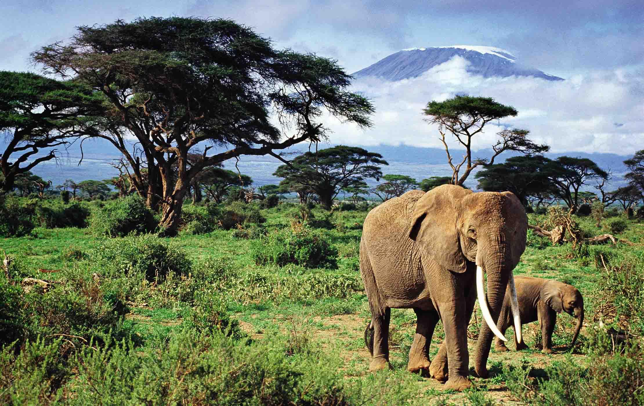 Elephant and baby elephant waling in Mount Kilimanjarol