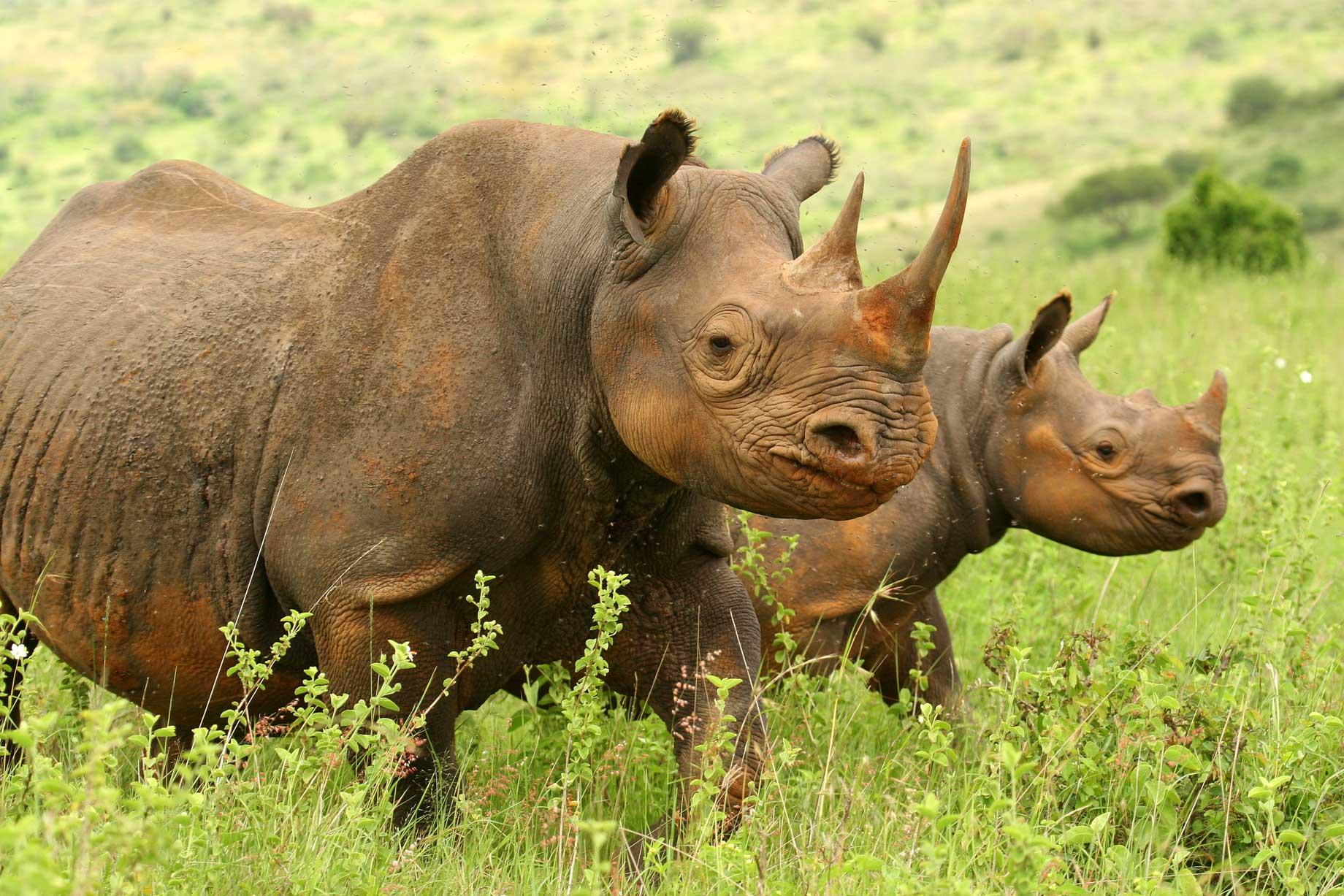 Hippopotamus in Nairobi