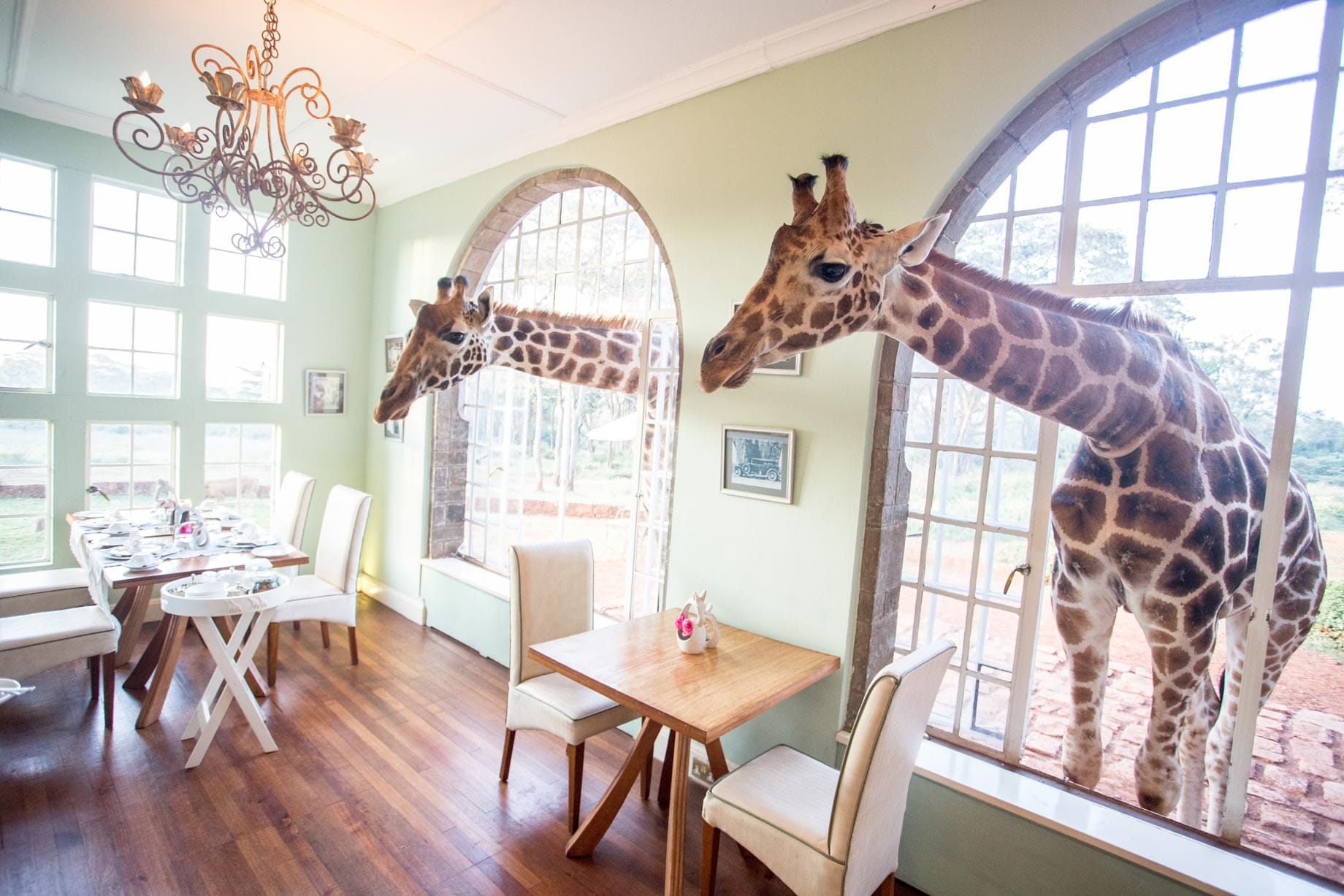 Eating Breakfast With Giraffes In Africa
