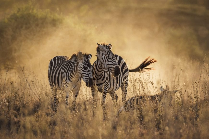 Observe Zebras during Safari with Us