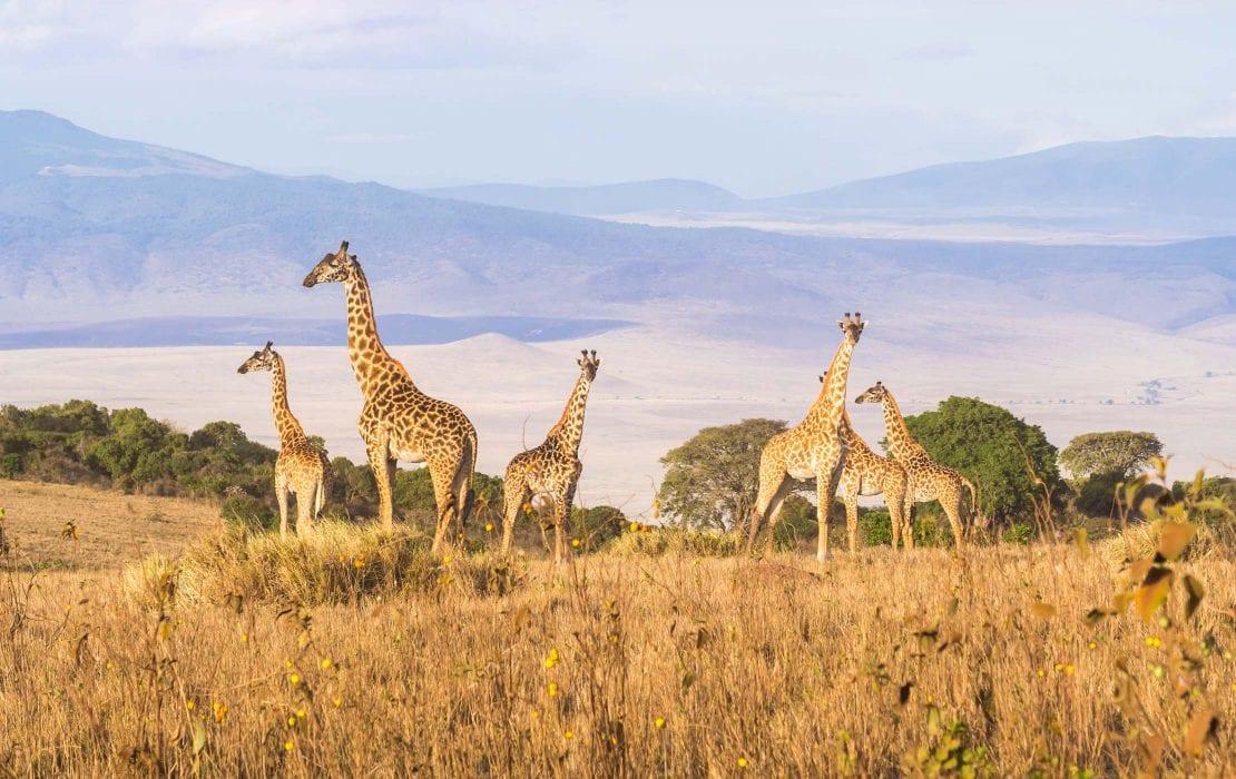 Giraffes at Ngorongoro Conservation Area