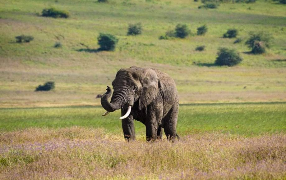 An Elephant roaming at Ngorongoro Conservation Area