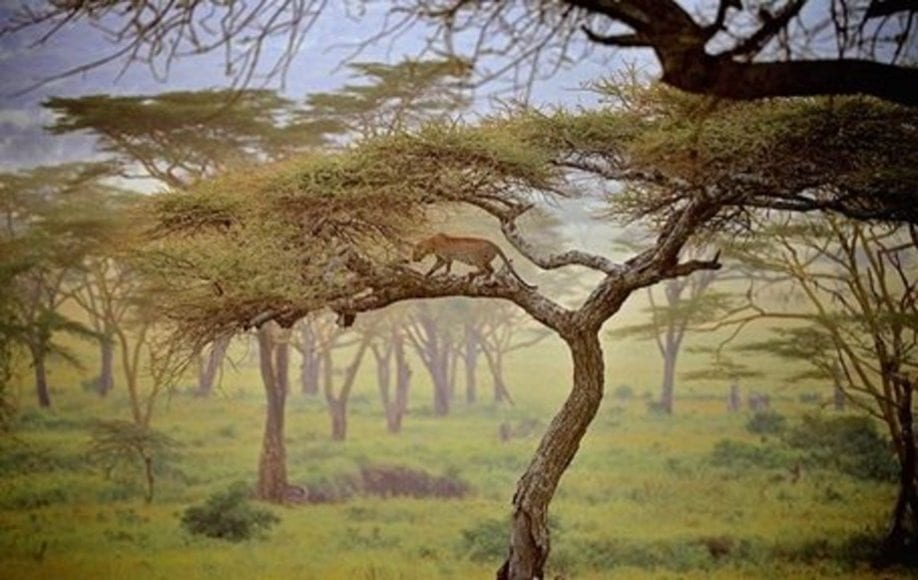 Lion venturing on limb