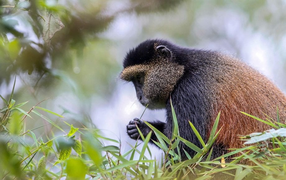 Monkey eating grass at Volcanoes National Park, Rwanda