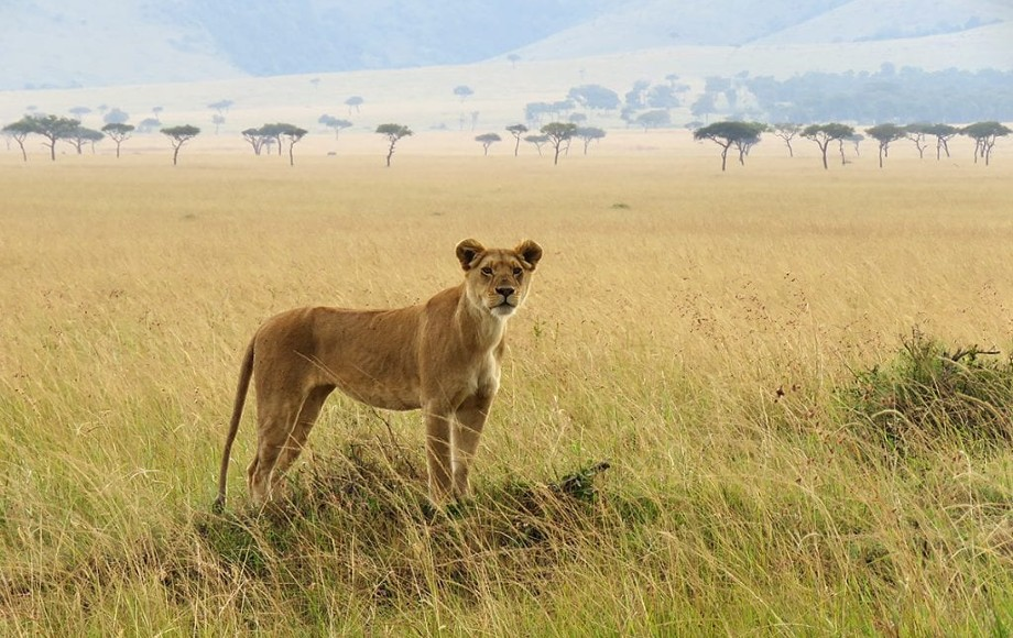 a lioness alone with the savannah behind her