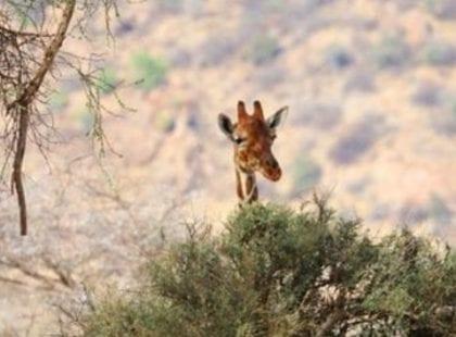 Giraffe poking above tree in Samburu