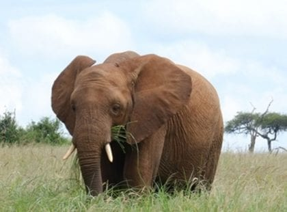 Elephant eating grass in Tarangire National Park
