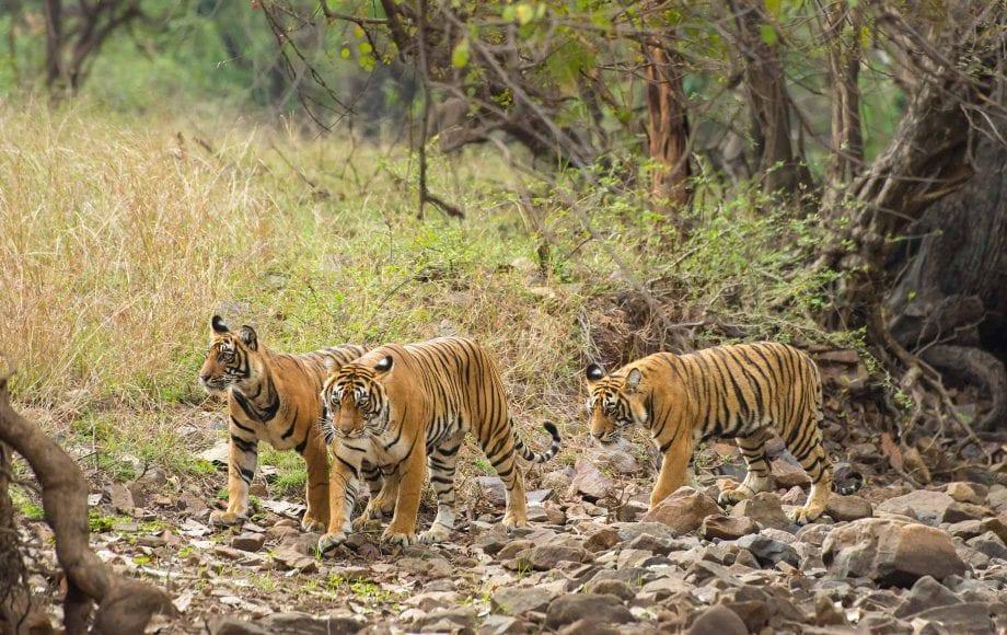 Three roaming tigers at Ranthambore National Park