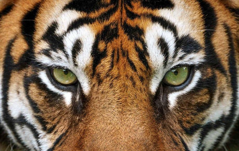 Staring Tiger Eyes at India National Park