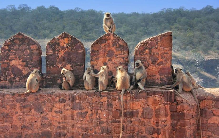 Monkeys in Ranthambore
