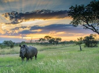 Rhino roaming around during sunset
