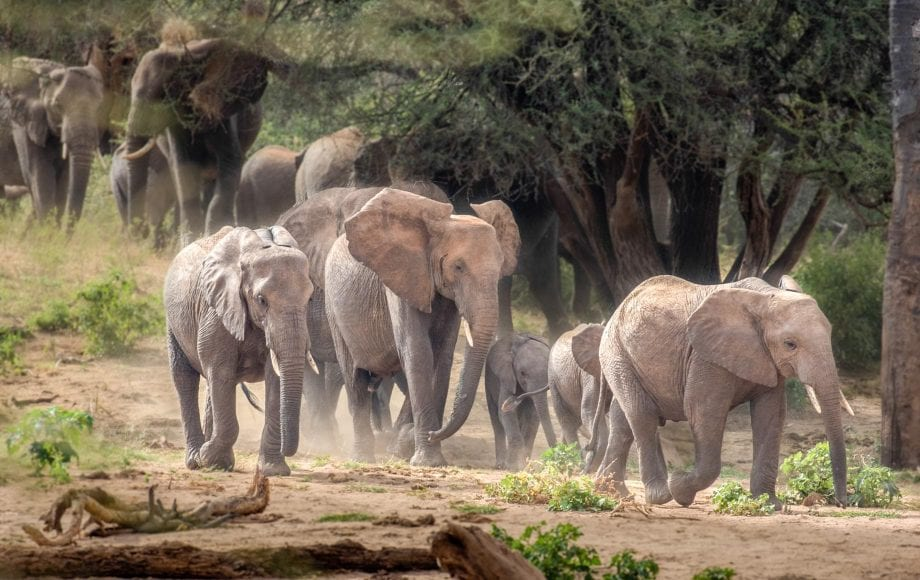Family of elephants strolling at Samburu National Reserve