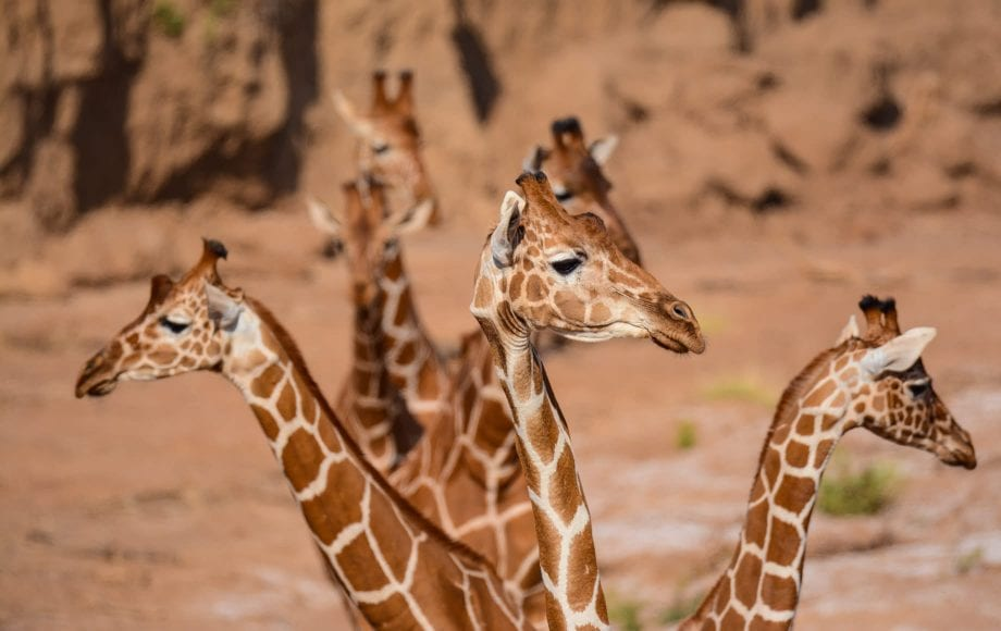 Family of giraffes at Samburu National Reserve
