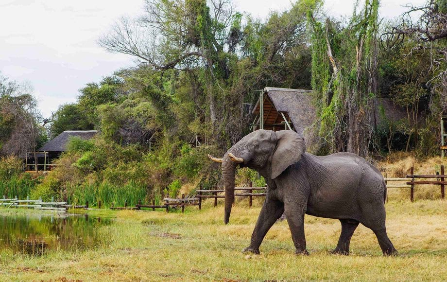 Wild Elephant at Savuti Chobe