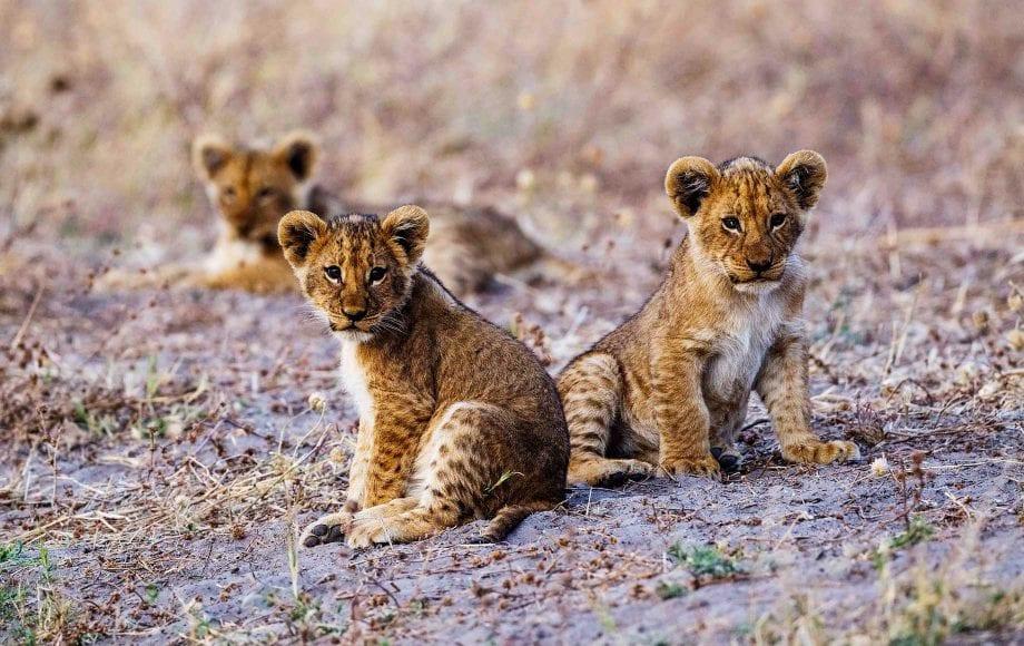 Wild baby tigers at Savuti Chobe