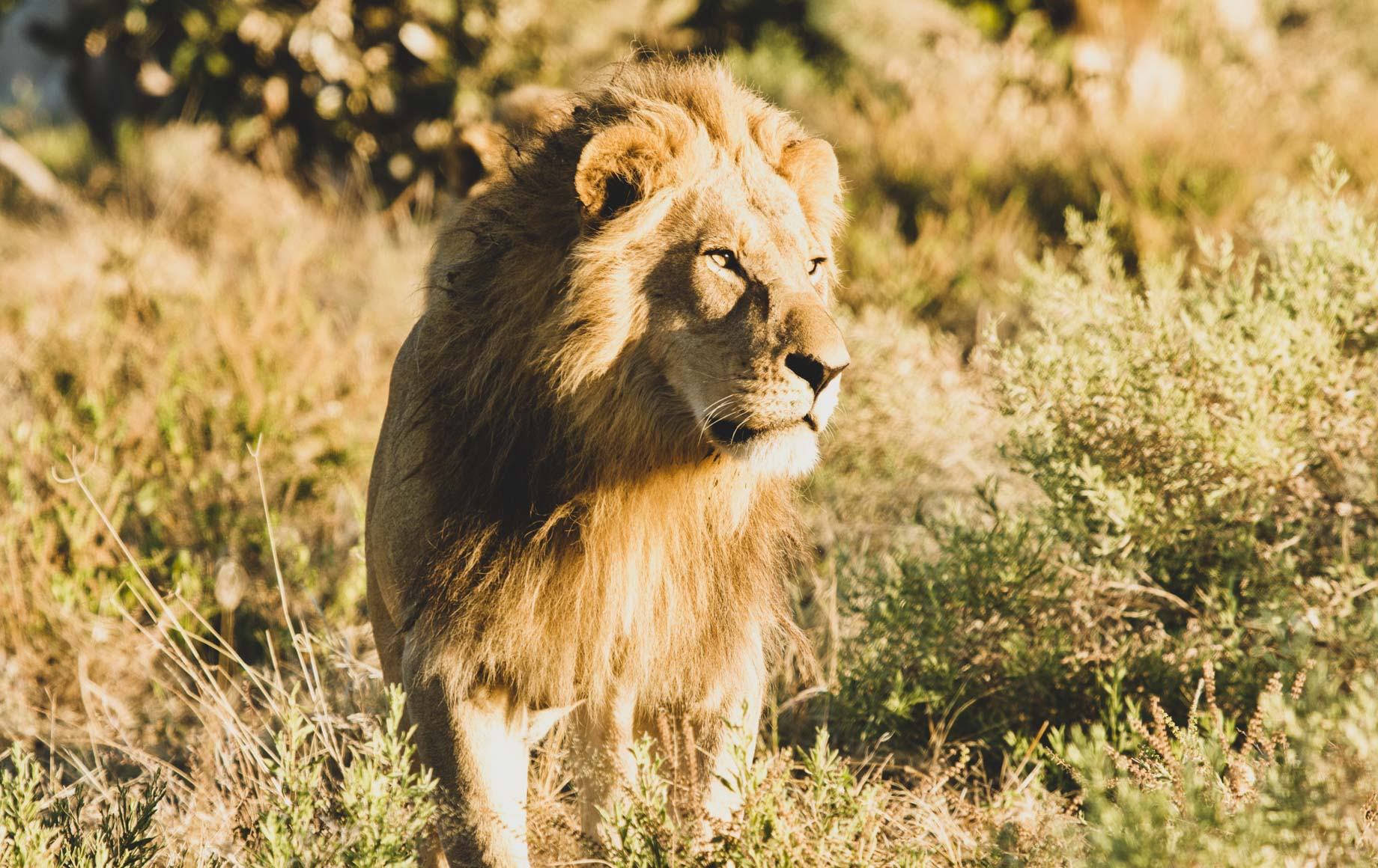 Wild majestic tiger at Savuti Chobe