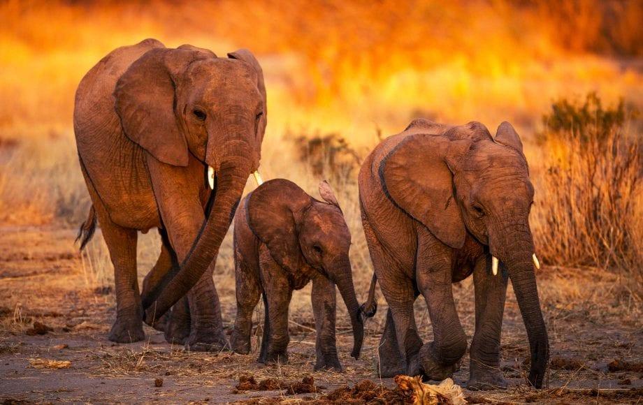 Elephants walking on a Selous and Ruha Safari Camps