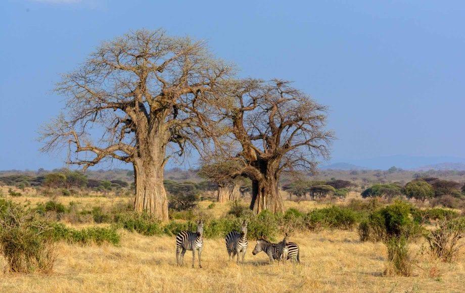 Zebras Selous and Ruha Safari Camps