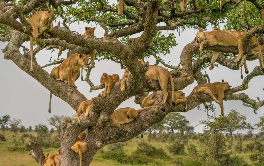 Group of young Lions in Serengeti safari, Tanzania