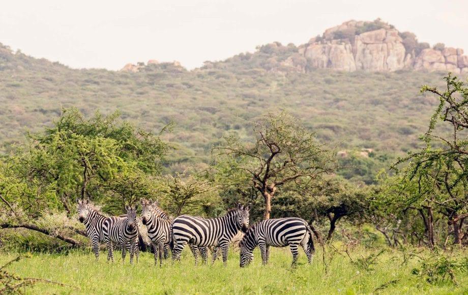 Zebras in Serengeti National Park