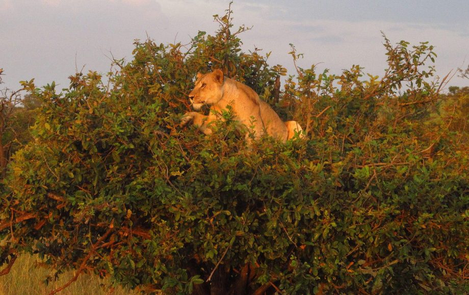 a lion in a tree